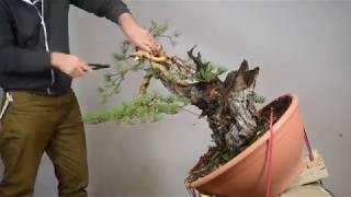 Pine Bonsai Timelapse