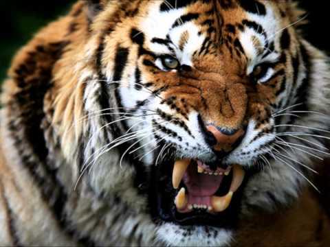 наколи мне тигра