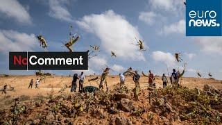 Miliardy szaranczy atakuje Afryke