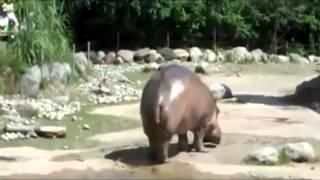 Пук бегемота