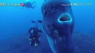 سمك مولا مولا وتسمى ايضاً شمس المحيط من اقدم الاسماك واكبرها حيث يصل وزنها 1000 كيلو غرام