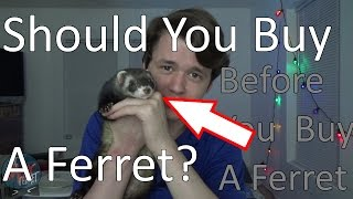 Should You Buy a Ferret? Before Buying A Ferret