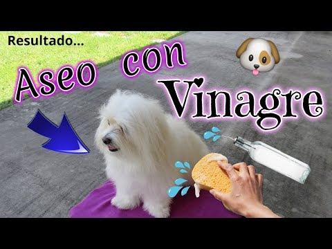 🐶💦Aseo con VINAGRE: PERRO SIN OLOR y SIN MANCHAS, coton de Tulear I Lorentix
