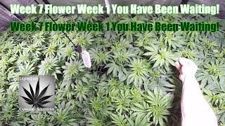 1 Plant in SCROG vs 4 Plants in SCROG