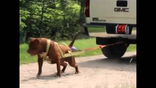 "Worlds largest Pitbull ""The HULK"" pulls a Chevy TRUCK!! Must see!!"