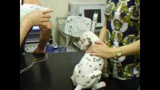 DALMATIAN PUPPY BAER HEARING TEST