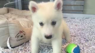 Mini Husky (Huskimo) puppies for sale, Empire Puppies