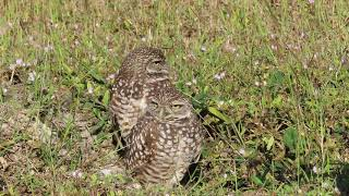 Cape Coral Burrowing Owls