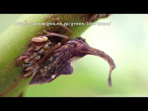 シロオビハタザオツノゼミ Pyrgauchenia pendleburyi