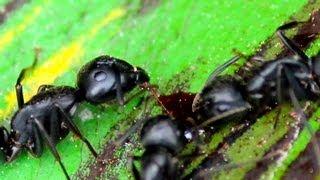 Vampire Ants