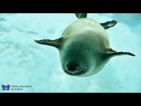 【海遊館】最近のワモンアザラシ、ミゾレ(2021.09.09)