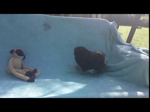 Black with tan Teddy Bear Pomeranian Puppy Male