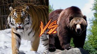 Амурский тигр Vs Гризли