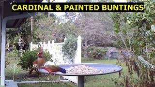 CARDINAL & PAINTED BUNTINGS with JOY TO THE WORLD