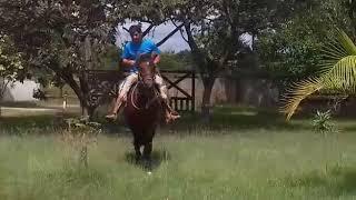 Equídeo Equino Crioulo Registrado Cavalo Pampa - e-rural Imagens