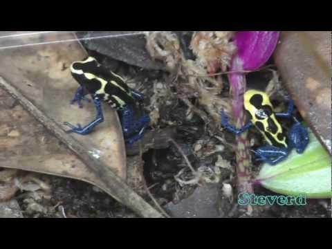Unboxing new Poison Dart Frogs, Dendrobates tinctorius 'Bakhuis'