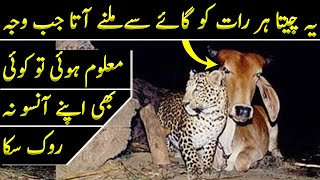 In India A Leopard Came To Meet a Cow on Daily Basis