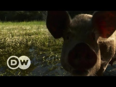 Foraging Mangalica pigs in Serbia face an uncertain future | DW English
