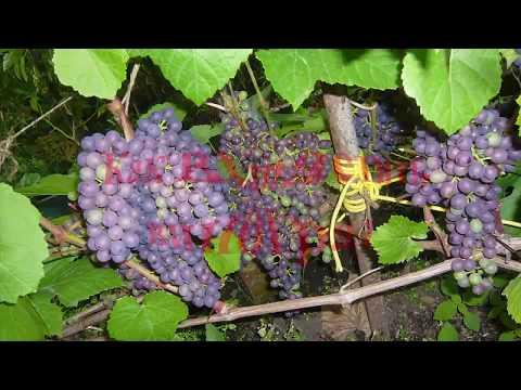 , title : 'Как легко вырастить виноград черенкование укоренение размножение grape cuttings of grapes
