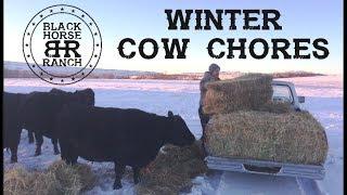 Winter Grass Fed Cow Chores