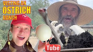 Everything you need to know about ostrich farming in usa and rising baby chicks