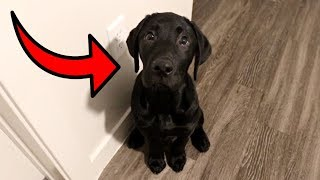 Labrador Puppy Learns To Stay!!