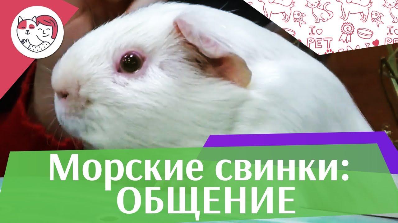 Правила общения с морскими свинками на ilikepet