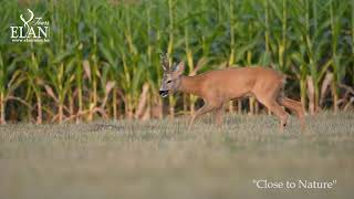 Roe buck hunting 2020