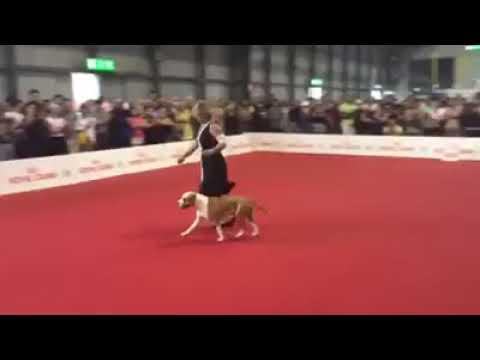 American Staffordshire Terrier World