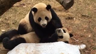 戯れあいパンダ