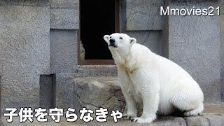 Mother Polar Bear to protect cub 子供を守る母 ホッキョクグマ親子