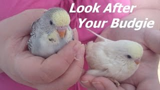 How To Look After Your Budgie or Budgies