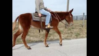 ANYONE CAN RIDE, VERY GENTLE SORREL MOLLY MULE