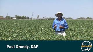 Silverleaf Whitefly (SLW) In Cotton: Sampling And The SLW Threshold Matrix