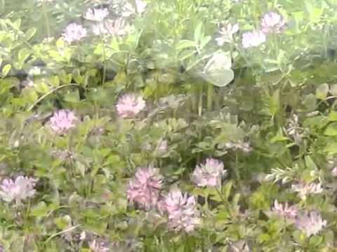 レンゲ畑のモンシロチョウ