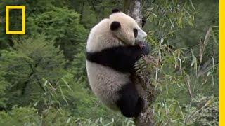 Elusive Giant Panda | National Geographic