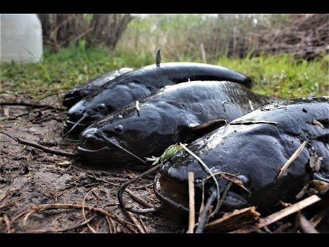 Рыбалка на перемет. Самая уловистая снасть на СОМА.Сом на живца. Рыбалка с ночевкой.