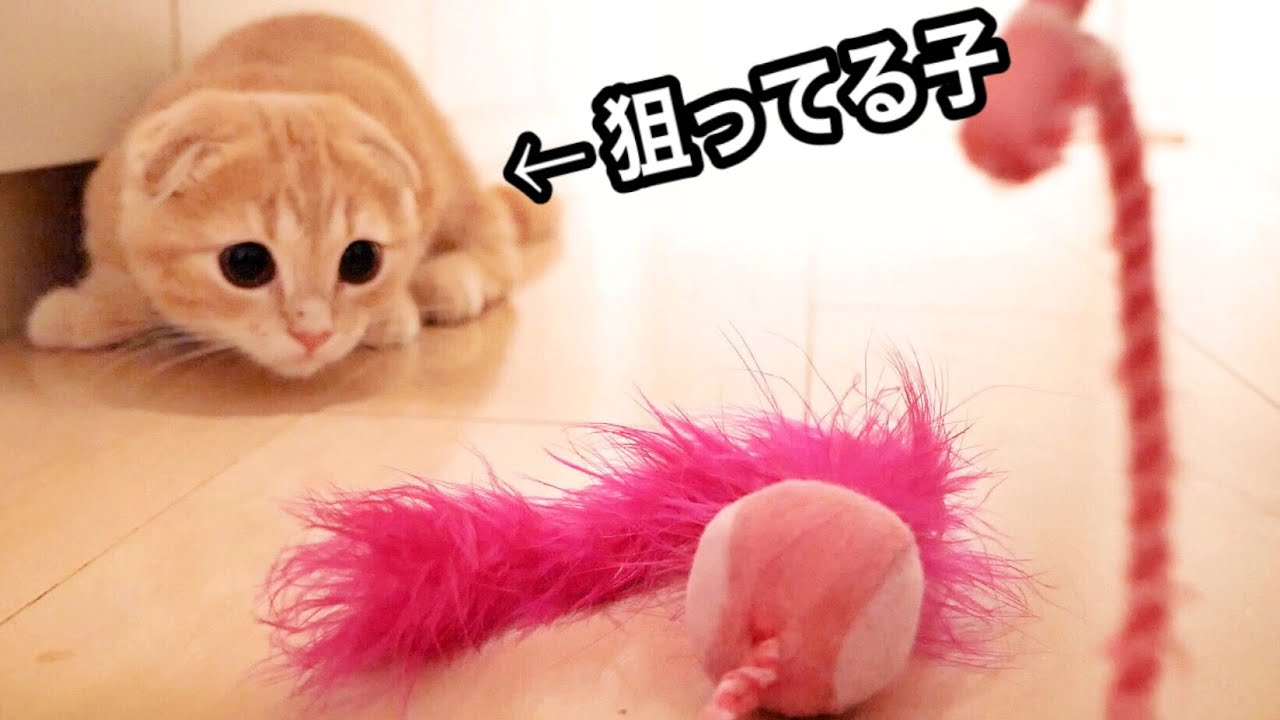 おもちゃで遊びまくる子猫がかわいすぎた...【短足マンチカン】