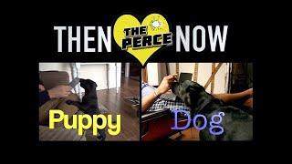 Living With A Black Labrador Puppy To Dog