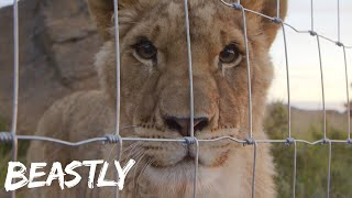 The Lioness Rescued From The Circus | BEASTLY
