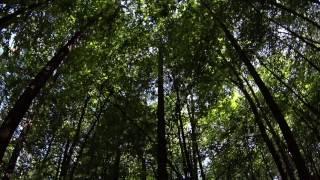 Zvuky lesa. Forest sounds. Geräusche des Waldes.