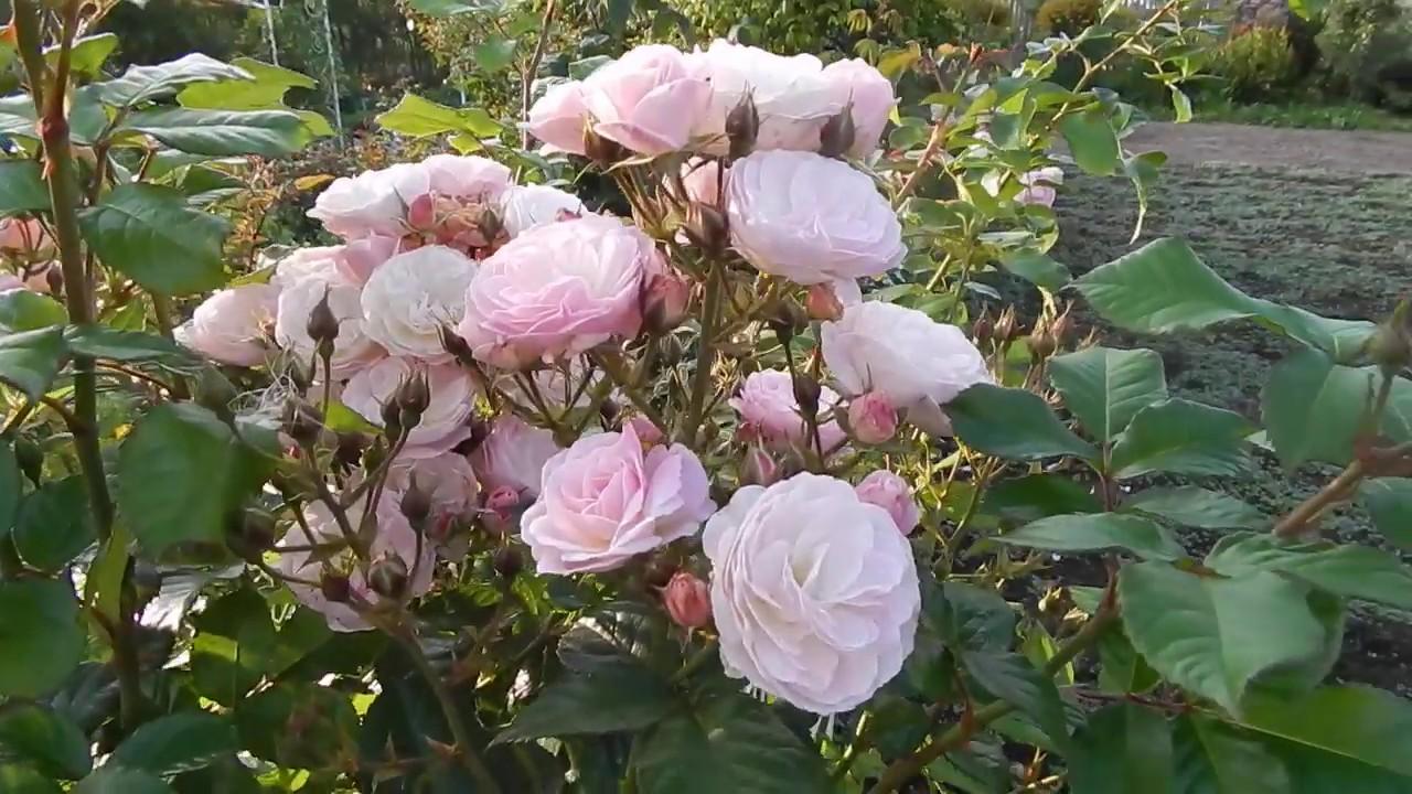 2 цветение розы Bouquet Parfait в моём саду 2019