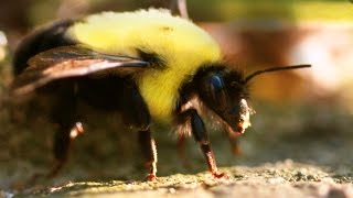 Amazing Bumblebees In 4K Slow Motion - 4K Macro