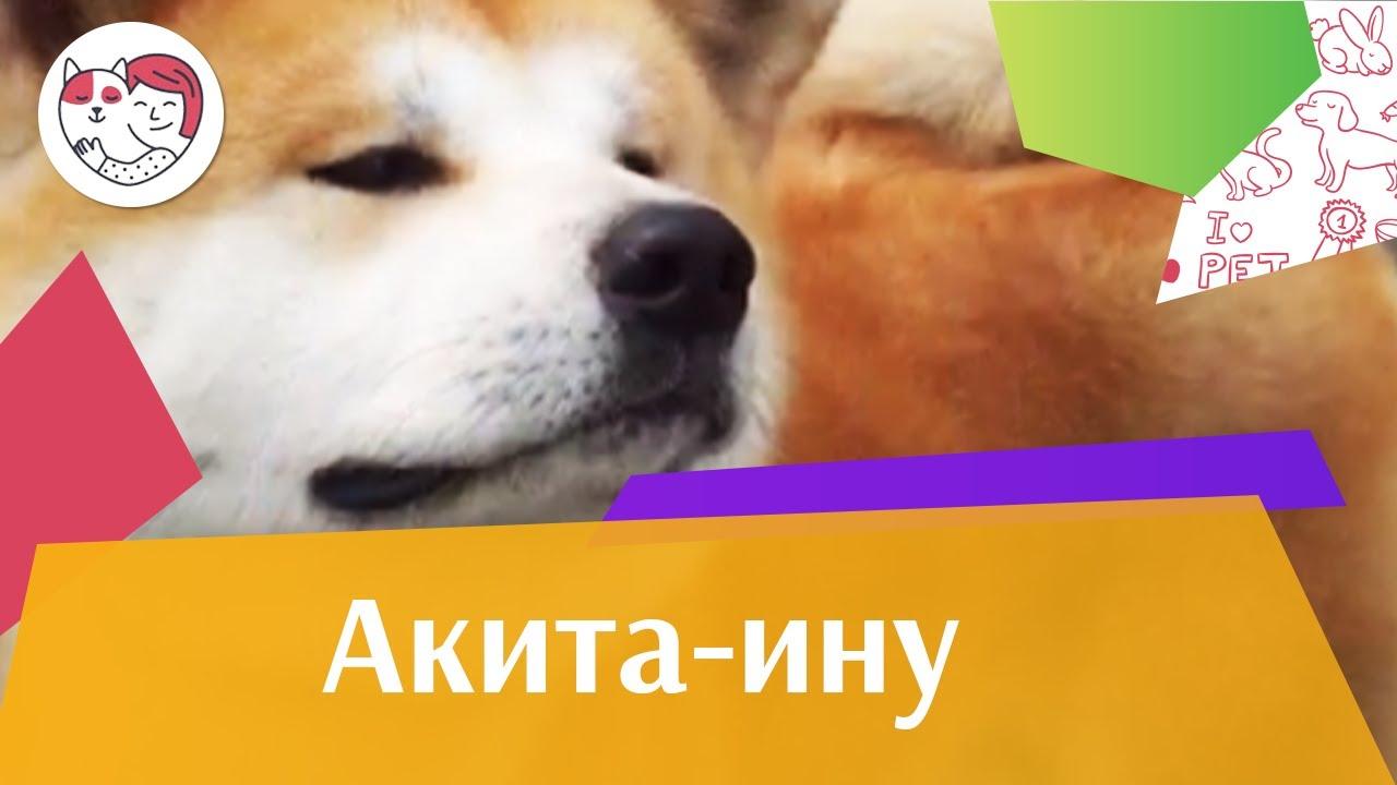 Акита Ину Внешний вид на iLikePet