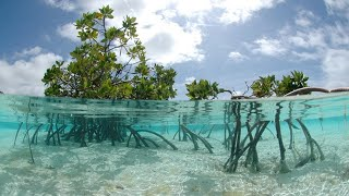 Magnificent Mangroves: Adaptations, Biodiversity, Outlook | Why Mangroves Are Important (and Cool)