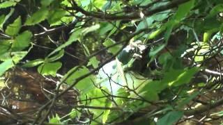 2011/06/06平伏沼でモリアオガエルの産卵