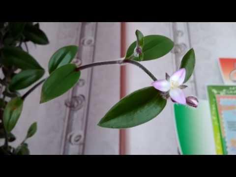 висящие  комнатные цветы, цветок белый