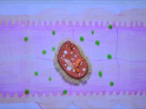 ตับและไข่พยาธิ Pollock