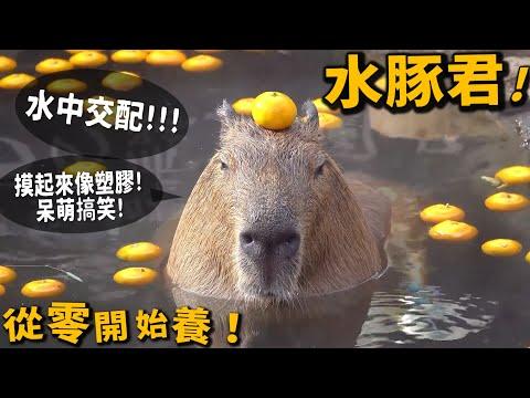 , title : '【從零開始養】水豚!一摸就被放倒!喜歡水中交配【許伯簡芝】