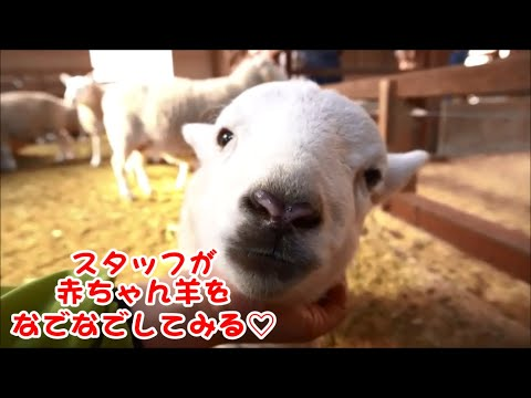 赤ちゃん羊をなでなでしてみる♥